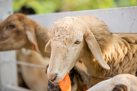 Close-up detail of a sheep with a piece of carrot in its mouth poking its head through a white metal fence. Livestock and agricultural industry concept. Stock Photo