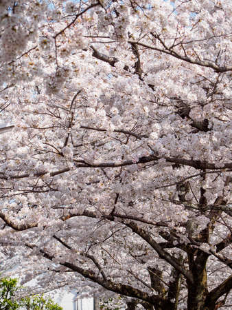 Wide vertical view of the multiple fully-bloomed Somei Yoshino Sakura trees lining the canals along the Philosopher's Path, Kyoto, Japan. Travel and Hanami festival. Stock Photo