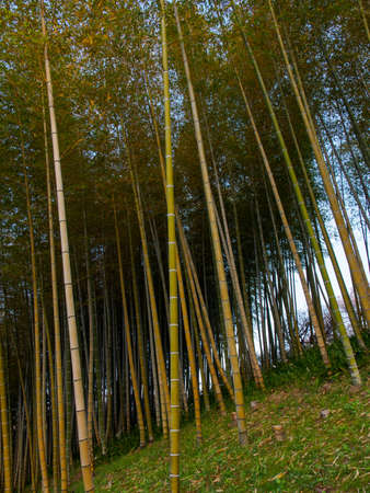 Wide angle view of a shaded grove of tall bamboo trees at sunset. Vertical orientation. Suita, Osaka, Japan. Travel and nature. Stock Photo
