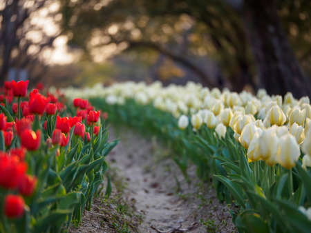 Closeup of rows of white and red tulips shaded after sundown. Shallow focus. Suita, Osaka, Japan. Travel and spring seasonal flowers.