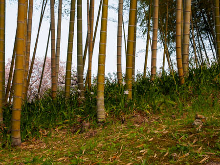 Wide view of blooming flowers among wooden bamboo stalks at a park. Suita, Osaka, Japan. Travel and nature backgrounds.