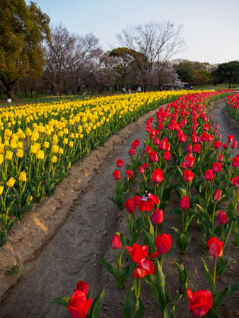 Wide angle view of rows of yellow and red tulips at sundown. Vertical orientation. Suita, Osaka, Japan. Travel and spring seasonal flowers.