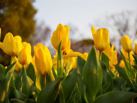 Closeup of densely-packed rows of yellow Fosteriana tulips glowing in the evening sun. Shallow focus. Suita, Osaka, Japan. Travel and nature.