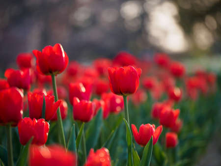 Closeup of a park field of red single-early tulips in the evening twilight. Suita, Osaka, Japan. Shallow focus. Travel and spring seasonal flowers. Stock Photo