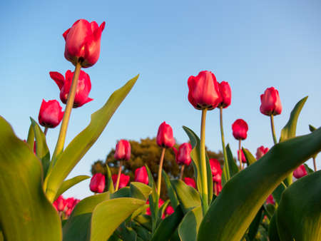 Wide bottom perspective view of a field full of colorful pink tulips glowing in a warm sunset. Suita, Osaka, Japan. Travel and spring seasonal flowers.