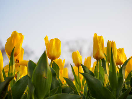 Closeup of rows of yellow Fosteriana tulips in the evening sun. Shallow focus. Suita, Osaka, Japan. Travel and nature. Stock Photo