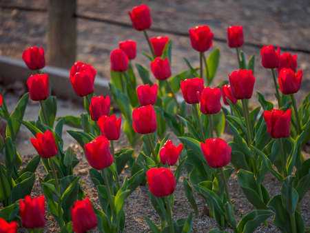 Closeup of a flowerbed of red single-early tulips glowing in the sunset's light. Suita, Osaka, Japan. Travel and tourism.