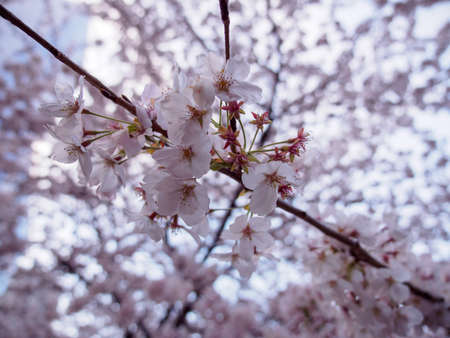 Wide closeup of Somei Yoshino Cherry Blossoms on the branches of a Sakura tree in full bloom at dusk. Shallow focus. Meguro River Park, Tokyo, Japan. Travel and Hanami festival.