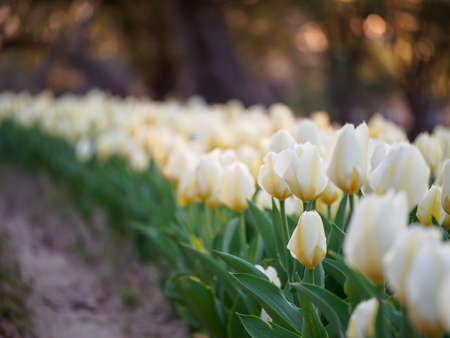 Closeup of rows of white Fosteriana tulips in the shadows after sundown. Shallow focus. Suita, Osaka, Japan. Travel and spring seasonal flowers.