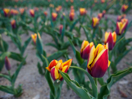 Wide closeup of a flowerbed of red-yellow tulips in the shade after sunset. Shallow focus. Suita, Osaka, Japan. Travel and nature.