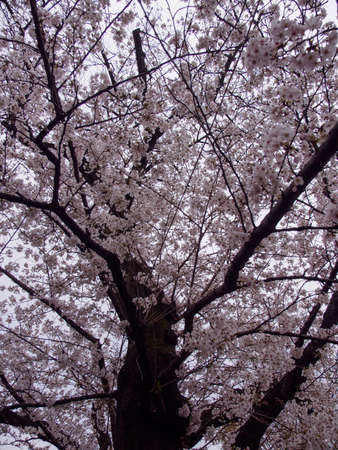 Wide vertical view of Somei Yoshino Cherry Blossoms on the branches of a Sakura tree in full bloom. Chidorigafuchi Park, Chiyoda, Tokyo, Japan. Travel and Hanami festival.