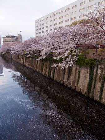 Wide vertical view of Somei Yoshino Sakura petals filling the Meguro river during the flower's full bloom. Tokyo, Japan. Travel and Hanami cherry blossom festival.