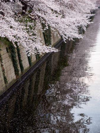 Vertical closeup of pale pink Somei Yoshino Sakura petals falling into the Meguro river. Tokyo, Japan. Travel and Hanami cherry blossom flower festival. Stock Photo