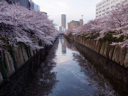 Somei Yoshino Cherry Blossom trees line the canal banks of Meguro river during full bloom. Tokyo, Japan. Travel and Hanami festival.