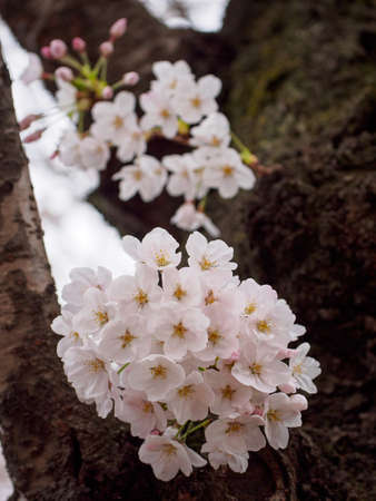 Wide vertical closeup of bouquets of blooming pink Somei Yoshino Sakura flowers on a tree trunk. Chidorigafuchi Park, Tokyo, Japan. Travel and Hanami cherry blossom festival. Stock Photo