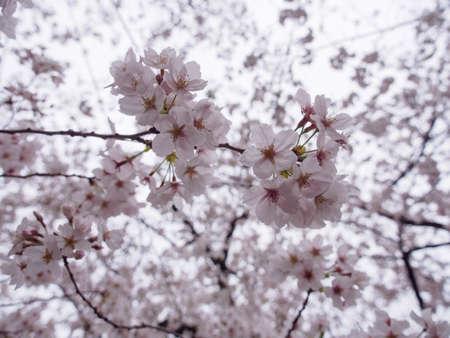 Wide closeup of Somei Yoshino Cherry Blossoms on the branches of a Sakura tree in full bloom. Chidorigafuchi Park, Chiyoda, Tokyo, Japan. Travel and Hanami festival.