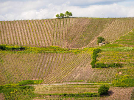 Beautiful aerial view of an elevated hillside vineyard in Turckheim on a sunny spring day. Haut-Rhin, France. Travel and wine tourism.