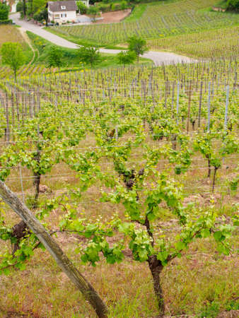 Wide closeup of vineyards on the outskirts of the village of Turckheim. Vertical orientation. Haut-Rhin, Grand Est, France. Alsace wine route.