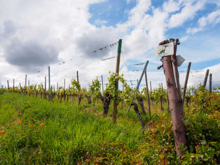 Vines on vineyard trellises in a grassy field on a cloudy day. Turckheim, France. Alsace wine route. Travel and tourism.