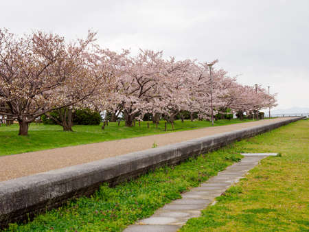 Wide angle view of Sakura trees in full bloom along a paved park trail near Lake Biwa on a cloudy and rainy spring day. Nagahama, Japan. Travel and nature. Stock Photo