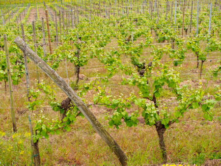 Wide closeup of vineyards on the outskirts of the village of Turckheim. Haut-Rhin, Grand Est, France. Alsace wine route.