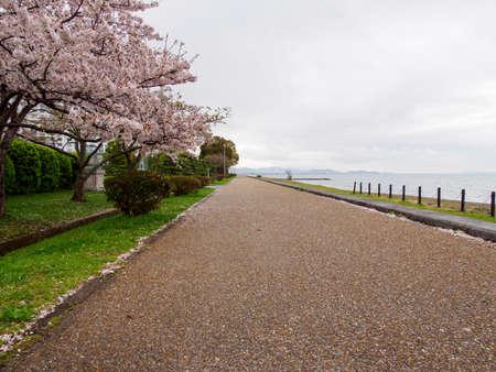 Wide view of blooming Sakura trees and fallen petals along a park walkway near Lake Biwa on a cloudy spring day. Nagahama, Japan. Travel and nature. Stock Photo