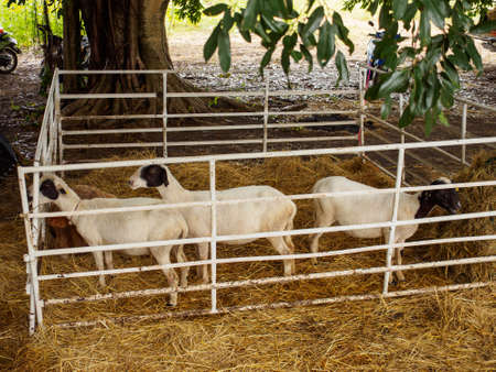Wide view of goats in a small pen with hay under a tree, at a countryside fair. Lopburi, Thailand. Livestock and farming. Stock Photo