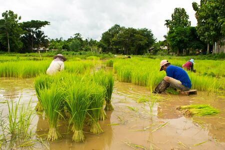 Farmers planting rice photo