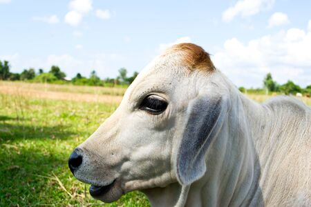 Cow in the meadow photo