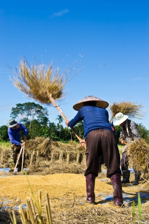 threshing: Farmer in the field combine  Stock Photo