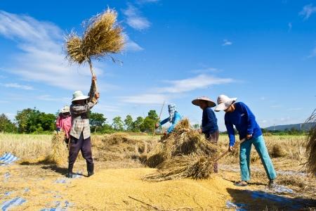 threshing: Farmer in the field combine  Editorial