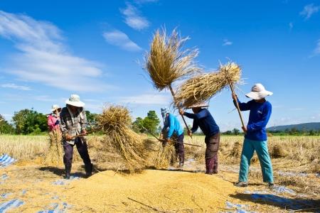 thresh: Farmer in the field combine  Editorial