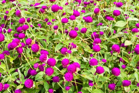 Amaranth on the hill side Stock Photo - 17103260