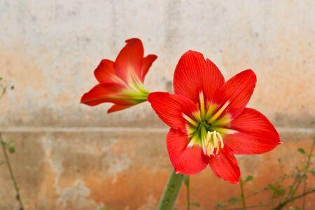 hippeastrum flower: Amaryllis Hippeastrum flower