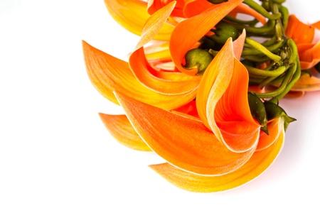 Dhak flower on white background