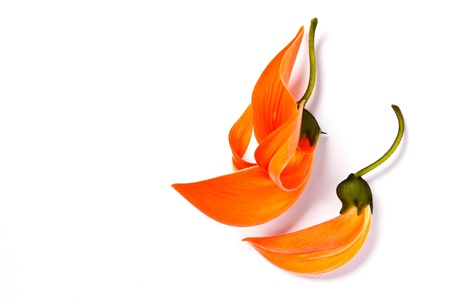 Dhak flower on white background  Stock Photo - 18308895