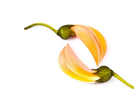 Dhak flower on white background Stock Photo - 18308899