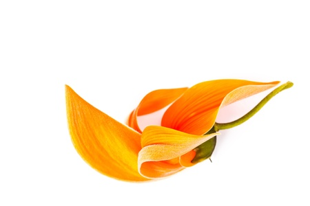 Dhak flower on white background Stock Photo - 18308897