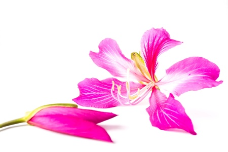 Orchid Tree on white background  photo
