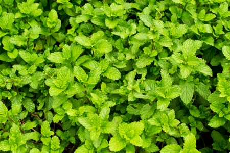 Peppermint background Stock Photo