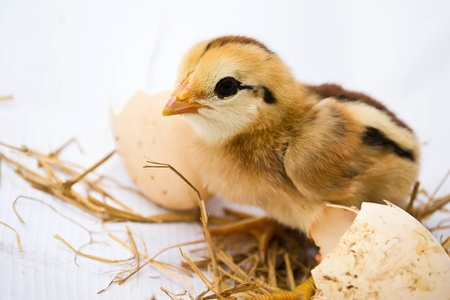 hatched: Chicks hatched from eggs