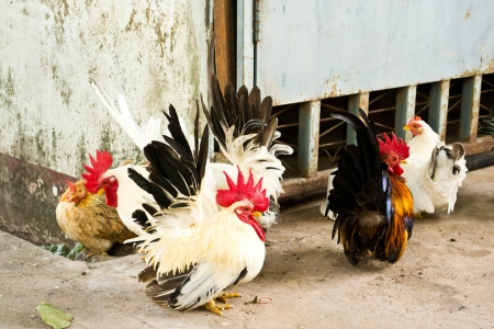 Male bantam chickens low Within a herd photo