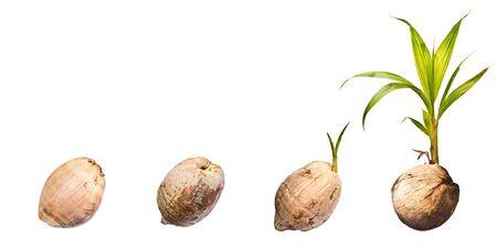 Coconut on white background photo