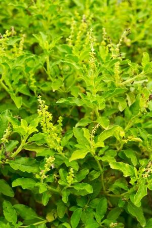 sweet basil background Stock Photo - 21982647