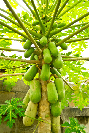 Papaya on the papaya tree photo