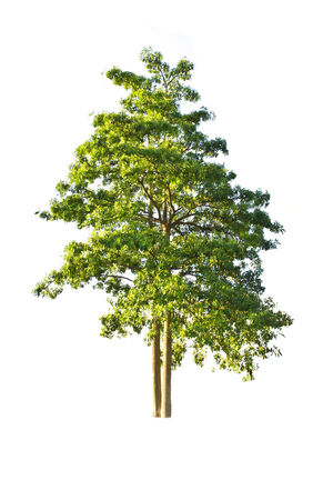 Tree isolate on a white background Reklamní fotografie