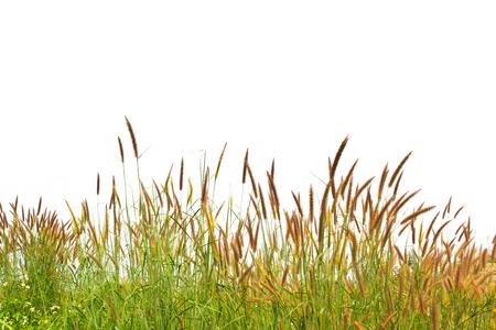 白い背景で隔離の草 写真素材