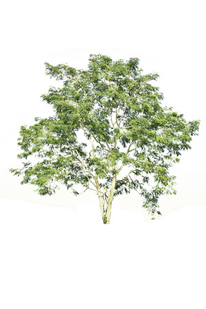 Tree isolate on a white