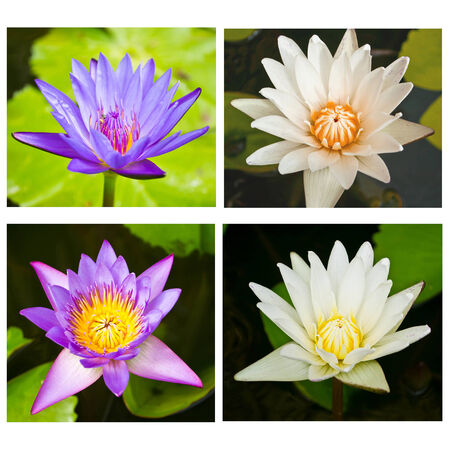 A beautiful waterlily or lotus flower photo