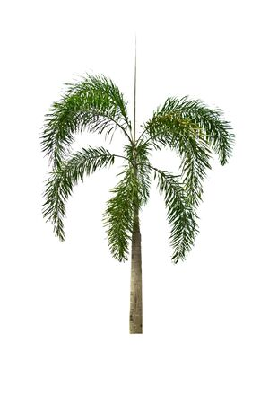 Palm tree on a white background photo